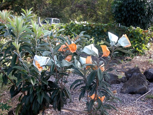 Loquat bagged on the tree.