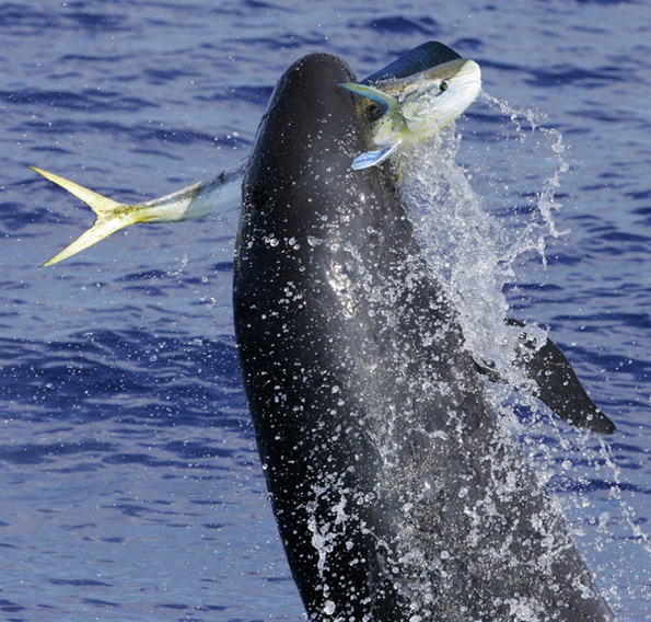 Hawaii's false killer whales at risk