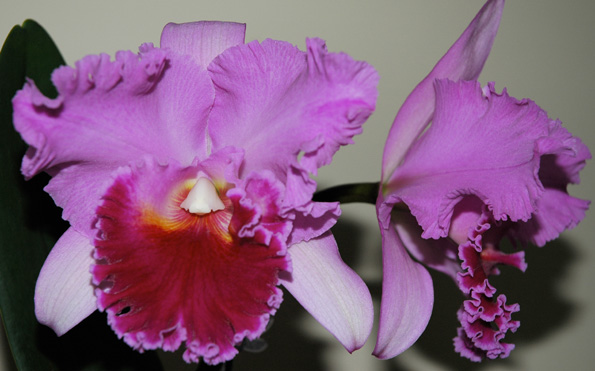 Daifukuji Orchid Club show July 26