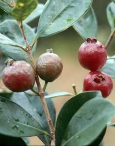 Strawberry Guava biocontrol update