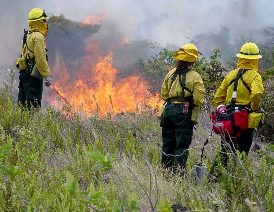 Park firefighters watch fire fueled by non-native grass, ferns, and shrubs.