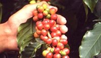 Coffee production up in 2008; revenue takes a dip
