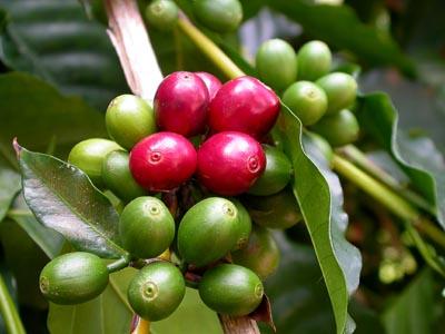 Kona Coffee survey at the India International Coffee Festival