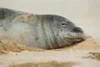 Volunteers needed for weekend seal count