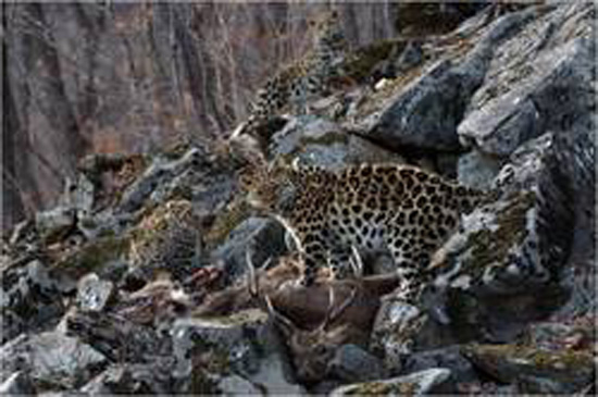 Rare photo of Amur leopards offers hope for endangered cat