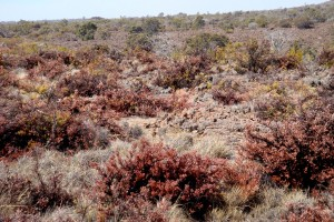 On the slopes of Mauna Loa, drought turns normally hearty pukiawe shrubs to toast.