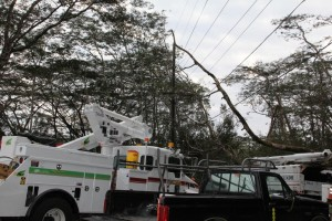 Large fallen Albezia tree knocked out power in the Kapoho area Saturday (March 5). Photo courtesy of HELCO.