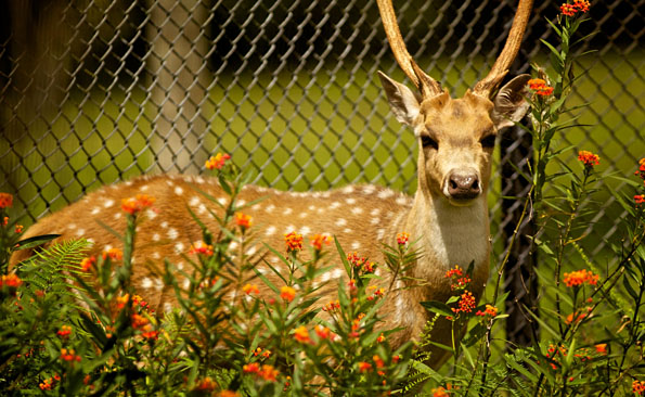 An Axis Deer at Pana`ewa Rainforest Zoo & Gardens. Photography by Baron Sekiya | Hawaii 24/7