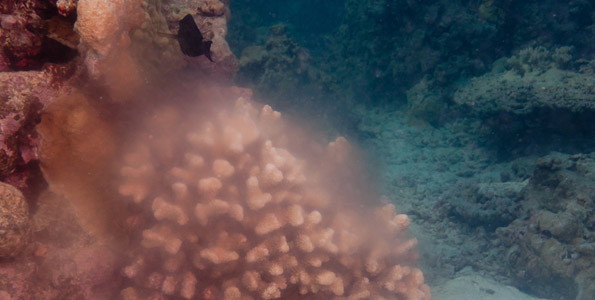 Scientists developed predictive model for cauliflower coral based on Big Isle's ReefWatchers work