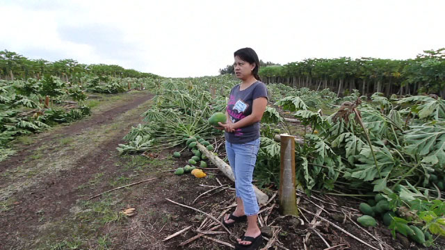 A reward of up to $30,000 has been established for information leading to charges in connection with the destruction of 10 acres of papaya trees in Puna in July.