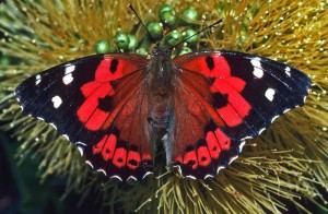 The Kamehameha butterfly (Vanessa tameamea) is one of Hawai'i's two native butterflies. Photo by Jack Jeffrey