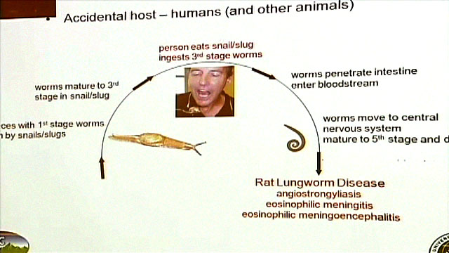 Rat Lungworm is a rare parasitic infection that can be potentially devastating when transferred to humans, leading to coma, agonizing pain and infections.