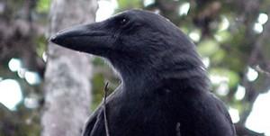 'Alalā, or Hawaiian crow (Photo courtesy of David Ledig | FWS)