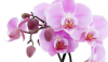 Photo courtesy of the Kona Daifukuji Orchid Club.