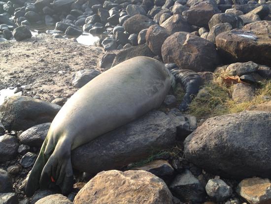 Hawaiian monk seal and baby at Keokea Beach Park. (Photo courtesy County of Hawaii)