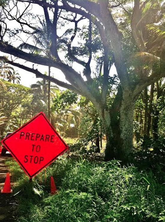 Monkey pod tree in Puna. (Photo courtesy of Sydney Ross Singer)