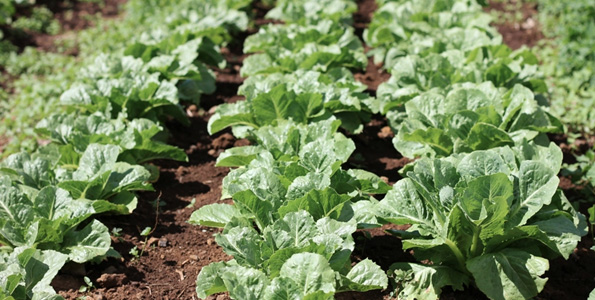 A field of certified organic lettuce grows at Robb Farms in Waimea. A new report examines the challenges faced by Hawaii's organic food industry and offers recommendations to help improve the availability and affordability of locally produced, certified organic foods. (Photo courtesy The Kohala Center)