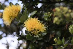 Yellow 'ōhi'a lehua, NPS Photo/David Boyle