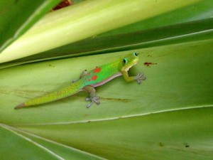 Phelsuma (gold dust day gecko)