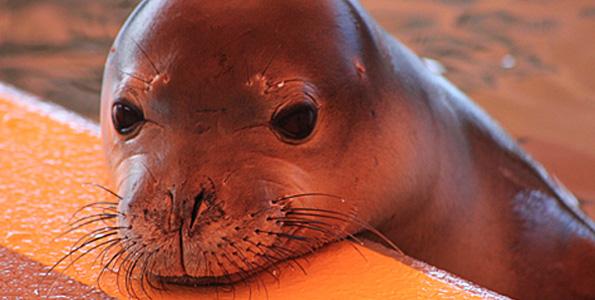 "Halai, a juvenile female Hawaiian monk seal rehabilitates at The Marine Mammal Center's Ke Kai Ola Hawaiian Monk Seal Hospital. Her Hawaiian name means ""calm, peaceful."" (Photo courtesy of The Marine Mammal Center   NMFS Permit 16632-00 and 932-1905-01MA-009526-1)"