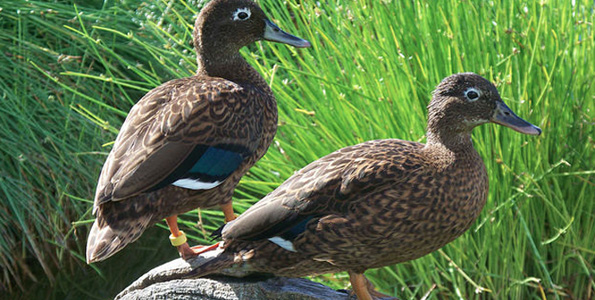 A male/female pair of Laysan Ducks at Midway Atoll National Wildlife Refuge. (Photo courtesy of John Klavitter | FWS)