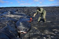 An HVO scientist collects a molten lava sample using a rock hammer. Molten lava on the flow field for the last several months has had a temperature usually around 1,140 ºC, or just under 2,100 ºF, when collected and can blister exposed skin when this close. Photo taken Tuesday, August 4, 2015 courtesy of USGS/HVO