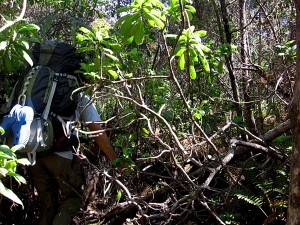 An HVO field geologist must make his way through dense Ninole hills forest to map the full extent of an old Mauna Loa lava flow.  USGS photo