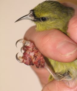 Hawaiʻi ʻamakihi with avian pox. Symptoms of this virus, which can be spread by mosquitoes, include tumor-like lesions on unfeathered parts of a bird's body, including feet and legs, around the eyes, and at the base of the bill. USGS photo.
