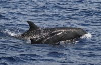 An endangered pseudoorca (false killer whale) and her calf in Hawaiian waters. Courtesy of Dr. Robin Baird/Cascadia Research Collective.