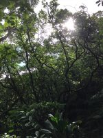 Koki'o ke'oke'o (Hibiscus arnottianus) in Manoa Cliff