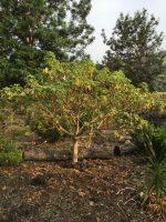 Ma'o hau hele (Hibiscus brackenridgei)