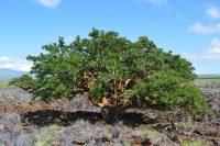Wiliwili (Erythrina sandwicensis) in Waikoloa Dry Forest