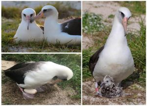 It starts with Wisdom and Akeakamai. Wisdom and her mate, Akeakamai, take turns caring for their egg and now their newest chick. Photo courtesy USFWS