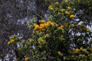 Yellow Ohia Lehua Kahuku. NPS Photo by David Boyle