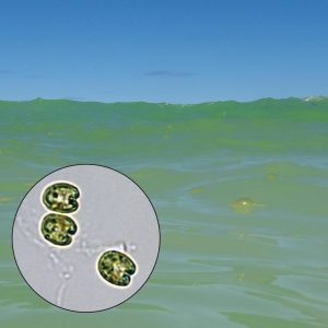 Coastal water can turn green when tiny single-celled algae thrive. Credit: Lydia Baker, UHM SOEST.