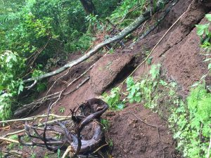 Moleka Trail landslide and exposed roots in Honolulu. DLNR Photo