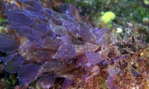 A new species of the red alga Martensia collected from 62 m (203 ft) at French Frigate Shoals.