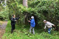 Volunteers remove Koali Awa from Kipukapuaulu. NPS Photo