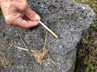 Monitoring for Little Fire Ants with peanut butter on a chopstick. Courtesy Photo