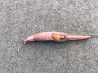 A semi-slug captured in Kohala Middle School students