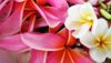 Plumeria flowers. Baron Sekiya Photo